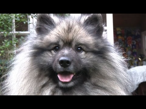 Keeshond - Best of Breed