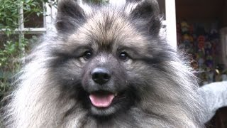Keeshond  Best of Breed