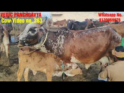 (263) 1 गाय लो या 50 # Live Milking Of Rathi Cow In Fazilka # Rathi Cow Available For Sale