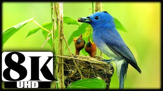 8K BIRDS RELAXATION VIDEO WITH ORIGINAL BIRD SOUNDS FOR 8K OLED TV | 8K VIDEOS |8K NATURE