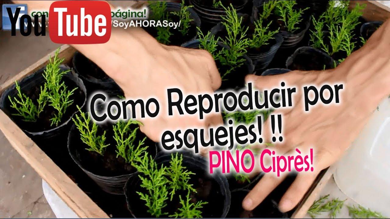 Palmera enana reproduccion asexual de las plantas