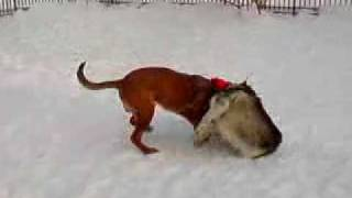 Dogue De Bordeaux & Alaskan Malamute Playing