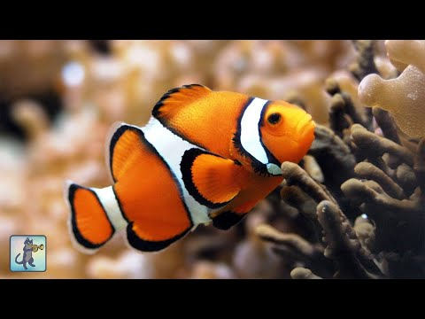 3 HOURS Of Aquarium Relax Music - Coral Reef Aquarium - Stunning Clown Fish Aquarium
