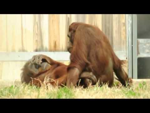 Порно с орангутаном