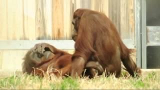 Orangutan porn.mp4