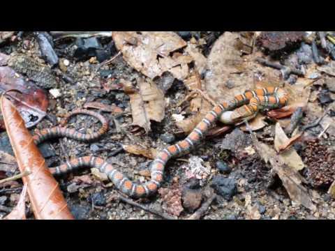 Twin-barred Tree Snake  ( Chrysopelea pelias )