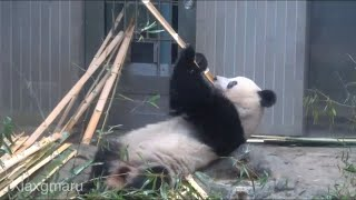 2020/1/26 (6) モグモグ、水飲み、う◯ちっち、でまたモグモグのシャンシャン^^   Giant Panda Xiang Xiang
