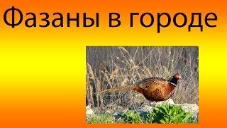 Фазаны В Новороссийске
