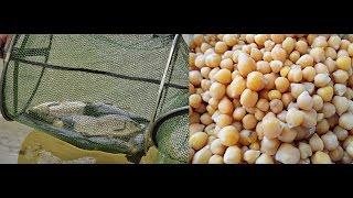 видео Как приготовить горох для карпа
