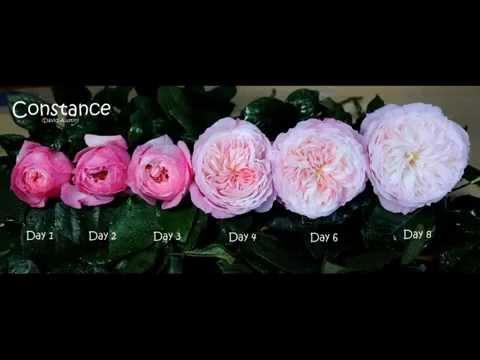 david austin deluxe english gardewn roses bloom stages. Black Bedroom Furniture Sets. Home Design Ideas