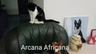 Щенки басенджи и кошка