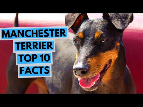 Manchester Terrier - TOP 10 Interesting Facts