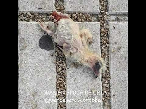 Efectos de la poda en los nidos de aves de Córdoba