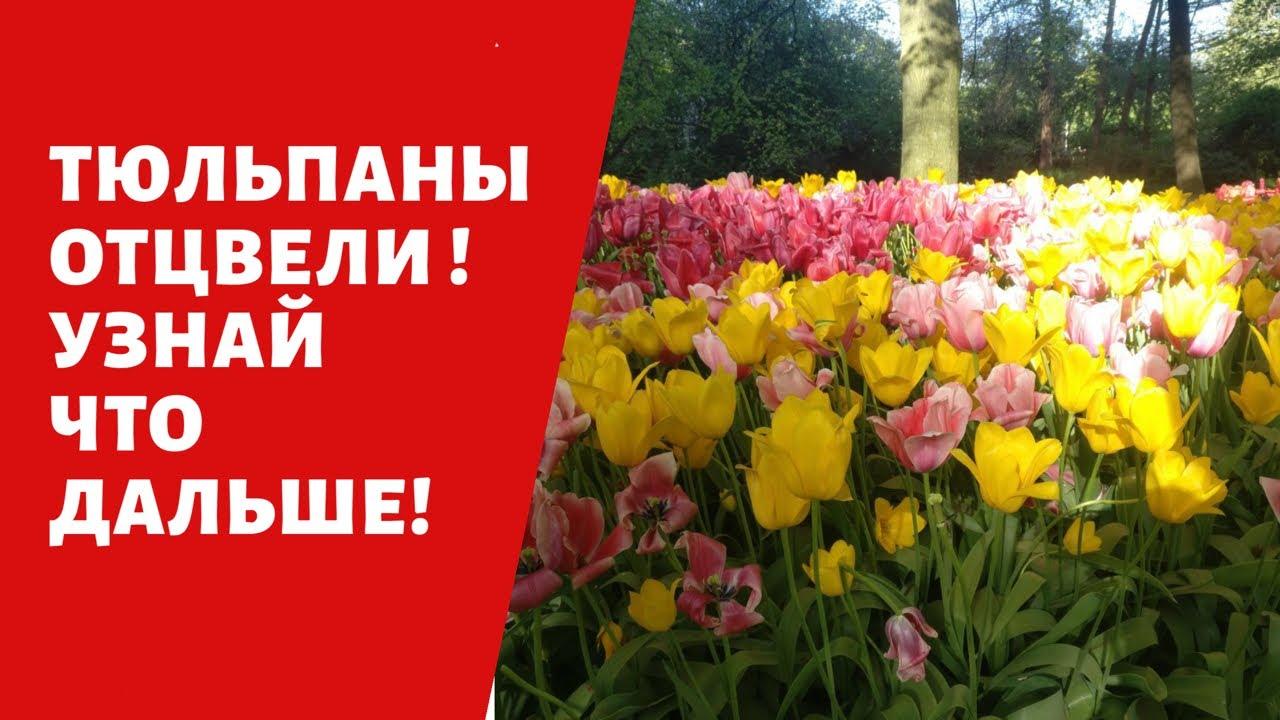 Отцвели тюльпаны ! Поливать ли , Выкапывать ли ??? Возможно и нет !