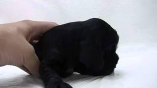 イングリッシュコッカーの子犬.