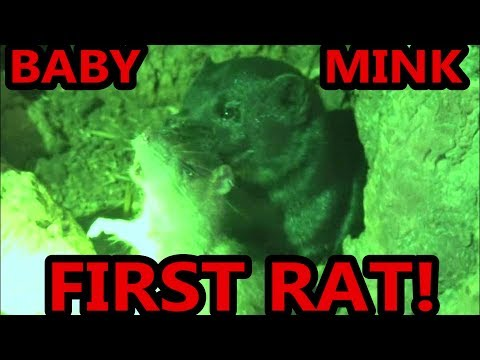 Baby Mink First Ratting