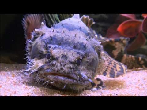 Freshwater Lion Fish