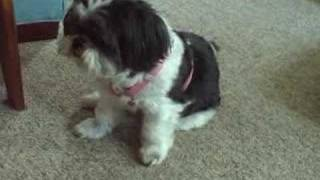 Shih Tzu, Prince Is Adopted Today!