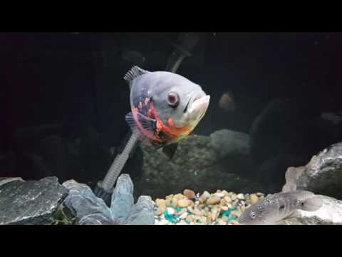 Oscar Cichlid | Growth Rate Out Of This World! Available To Watch 1080p