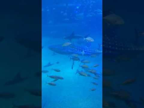 Whale & hammerhead sharks - Osaka Aquarium