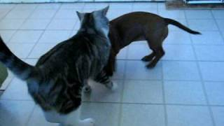 Mini Dachshund Attacks Cat! ;d