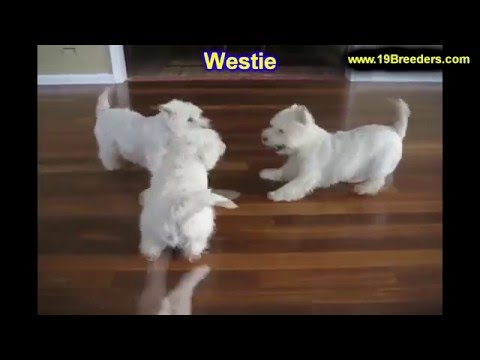 West Highland White Terrier, Westie, Puppies, Dogs, For Sale, In Columbus, Macon, Georgia, GA