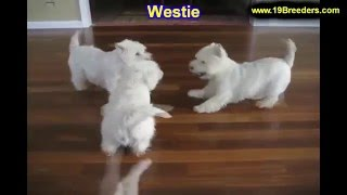 West Highland Terrier, Puppies For Sale, In Macon, Georgia, Ga, Athens,augusta, Columbus
