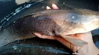 วิธีหาปลาช่อนง่ายๆ ได้แต่ตัวใหญ่ๆ
