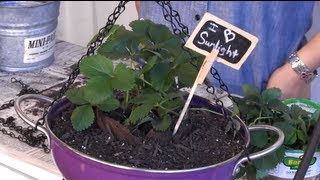 Diy: How To Make A Strawberry Planter Out Of A Colander