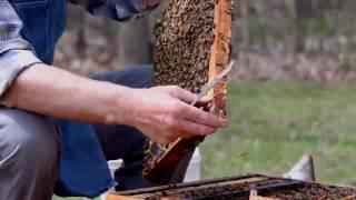 Пчеловодство в Канаде  - Замена маток