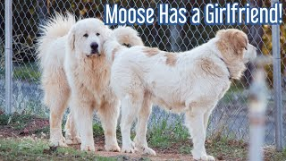 Breeding our Great Pyrenees livestock guardian dog! ||  Our dog is having puppies soon!