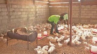 Cameroun, Les conséquences de la grippe aviaire sur la filière avicole