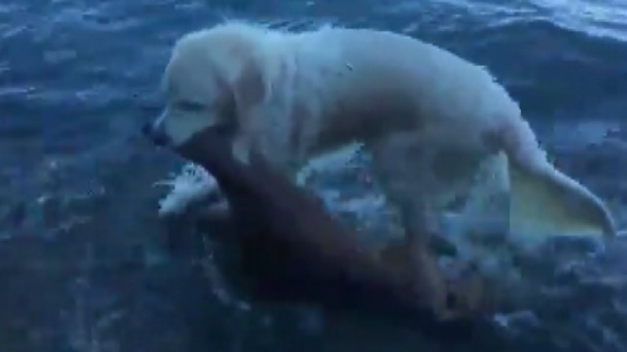 Golden Retriever Saves Baby Deer From Drowning In Amazing Rescue