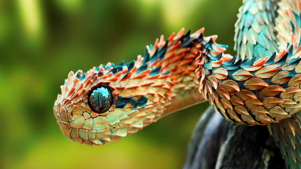 interesting spiny bush viper facts youtube