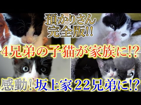 【感動】4兄弟の子猫が新しい家族に!?一体何が起きたのか?坂上家が18兄弟から22兄弟になる!?預かりさん《完全版》最終回