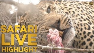 Leopard almost loses kill to hungry hyenas