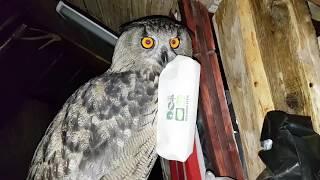 Чем совы занимаются ночью? what do owls do at night?