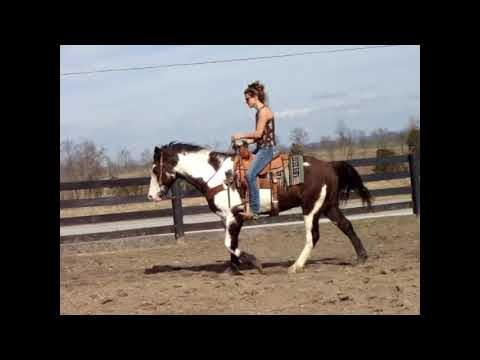 UNIQUELY MARKED LOUD COLORED BLACK & WHITE OVERO PAINT CROSSBRED GELDING, FLASHY!