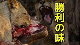 【野生動物の戦い】ライオンがバッファローを捕食!狩り(戦い)に勝利...