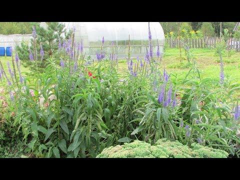 Вероника колосистая – выращивание и уход