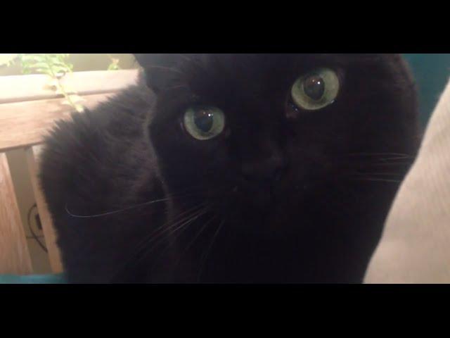 15 year old Bombay cat still a kitten at heart