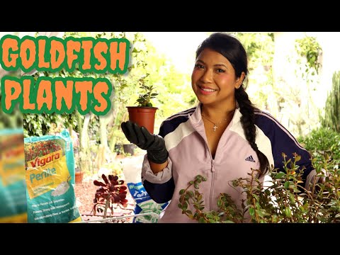 How To Propagate Goldfish Plant Tutorial