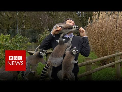 BBC reporter mobbed by lemurs - BBC News