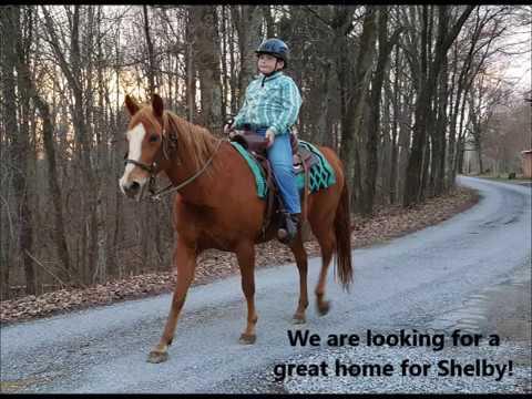 "Sold ""Shelby"" Sorrel Quarter Horse Mare Beginner Pleasure, 4H Show or Trail"