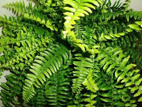 333 how to grow n care boston fern hindi urdu 11 3 17 youtube. Black Bedroom Furniture Sets. Home Design Ideas