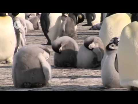 Science Nation - Emperor Penguin Populations in Antarctica and Climate Change