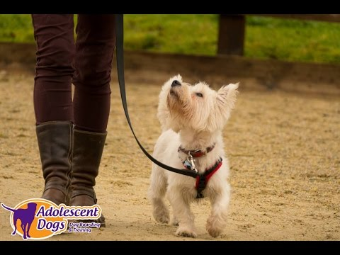 Henry - Westie - 4 Week Residential Dog Training at Adolescent Dogs