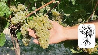 PIWI Weintrauben im Vergleich - Blütenmuskateller, Donauriesling, Donauveltliner und Pinot Nova