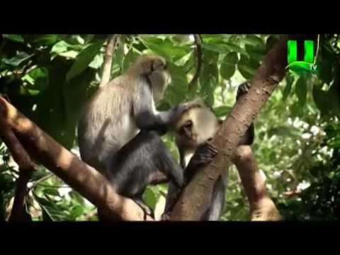 Special Report: Boabeng - Fiema Monkey Sanctuary