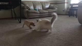 Ragdoll cat  - кошка рэгдолл и щенок лабрадора - первый  день  вместе - уже играют